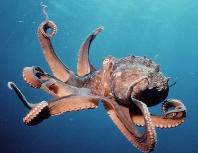 A reportagem tentou inserir um octopus na matéria, sem sucesso.